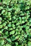 Purple perilla. Fresh purple perilla field Stock Image