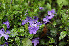 Purple periwinkle flower and green shoots Royalty Free Stock Photos