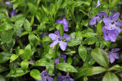 Purple periwinkle flower and green shoots Royalty Free Stock Photography