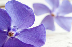Purple Periwinkle flowers Stock Images