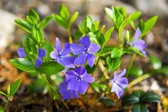 Purple periwinkle wildflowers closeup royalty free stock photo