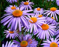 Purple Petal Flower Stock Photography
