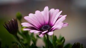 Purple Petal Flower Royalty Free Stock Image