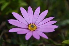 Purple Petal Flower Stock Images