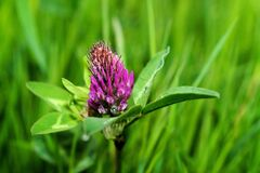Purple Petal Flower on Green Grass Royalty Free Stock Photo
