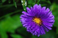 Purple Petaled Flower Stock Photos
