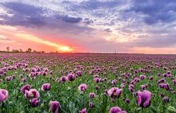 Purple Petaled Flower Field Stock Photos