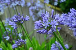 Purple Petaled Flowers Royalty Free Stock Photos