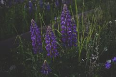 Purple Petaled Flowers Surrounded by Green Grass Royalty Free Stock Photography