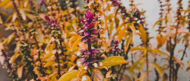 Purple Petaled Flowers With Yellow Leaves Royalty Free Stock Images