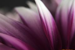 Purple petals Royalty Free Stock Photography