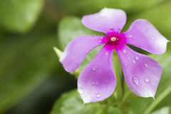 Purple Petals. Purple flower after a morning shower Royalty Free Stock Photo