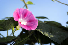 Free Purple Petunia Stock Photography - 10662892