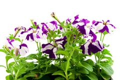 Purple petunia Royalty Free Stock Image