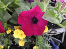 A purple petunia. Close-up on a soft green background soft Royalty Free Stock Photo