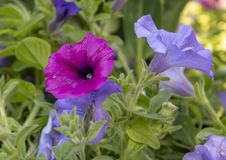 Purple petunia at Dallas Arboretum. Pictured is a closeup view of a purple petunia at the Dallas Arboretum and Botanical Garden on the southeastern shore of Royalty Free Stock Image