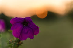 Purple petunia flower against the backdrop of the setting sun Royalty Free Stock Images