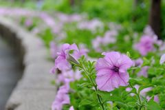 Purple petunia flower blossom in a cement box at botanical garden royalty free stock photography