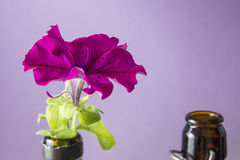Purple petunia flower on bottle pot on a purple background Stock Images