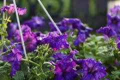 Purple petunia flower. a purple (violet) flower in water drop Stock Images