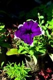 Purple petunia flower stands in a plastic cup. Purple petunia flower stands in a plastic cup on a flowerbed royalty free stock images