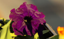 Purple petunia Royalty Free Stock Images