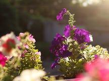 Purple petunia flower on sunset background Stock Photography