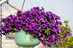 Purple petunia in flowerpot Stock Images