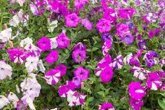 Purple petunia flowers Stock Photography