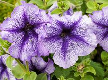 Purple petunia flowers in a beautiful design on a bright sunny day stock photos