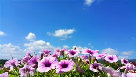 Purple petunia flowers in bloom against blue sky with clouds Royalty Free Stock Image