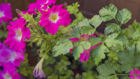 Purple petunia flowers in bloom on a green garden Stock Images