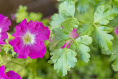 Purple petunia flowers in bloom on a green garden Royalty Free Stock Photos