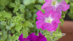 Purple petunia flowers in bloom on a green garden Stock Photography