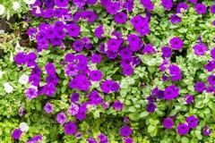 Purple petunia flowers blossom Stock Image