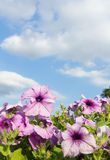 Purple petunia flowers with cloud and sky Stock Image