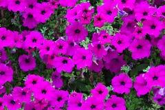 Purple petunia flowers Stock Images