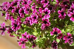 Purple petunia flowers in the garden in spring time. Shallow depth of field.  Royalty Free Stock Image