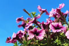 Purple petunia flowers over blue sky Royalty Free Stock Images
