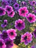 Purple petunia flowers stock photo