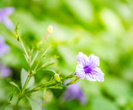 Purple petunia Stock Images
