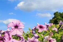 Purple petunia flowers with sky background Royalty Free Stock Photos