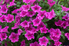 Purple petunia Royalty Free Stock Photography