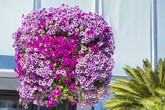 Purple petunia flowers for street decoration Royalty Free Stock Image