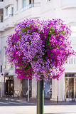Purple petunia flowers for street decoration Stock Photo
