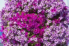 Purple petunia flowers for street decoration-close up Stock Photo
