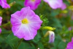 Purple petunia. Royalty Free Stock Image