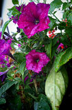 Purple petunia flowers under rain on the balcony Stock Photography