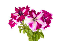 Purple petunia flowers on white background Royalty Free Stock Photos