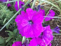 Purple petunia Stock Photography